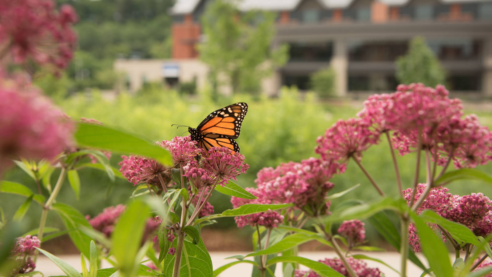 Butterfly landing on flower at UWEC quad