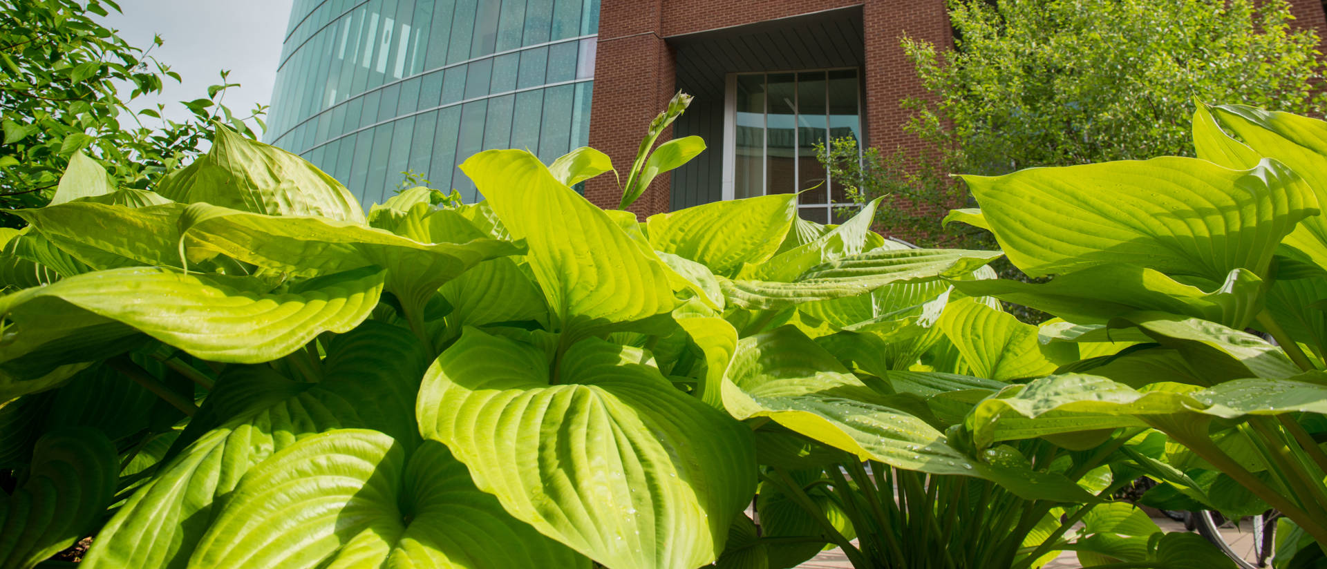 Hosta plants on Campus