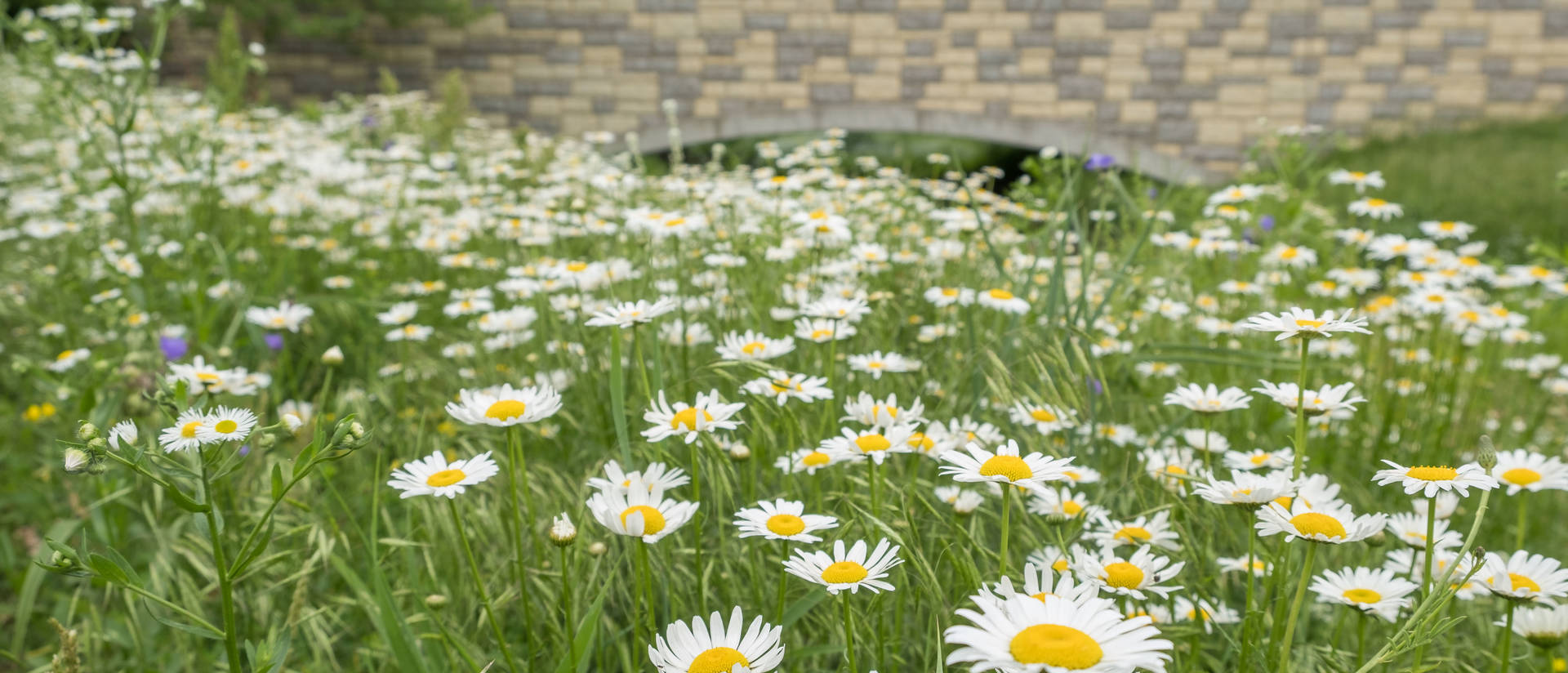 Daisy field on campus mall