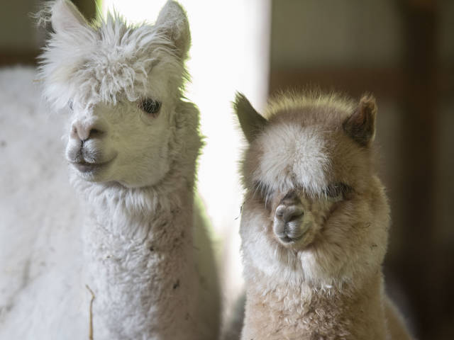It's easy to see why Claire Bee enjoys spending time with her alpacas.