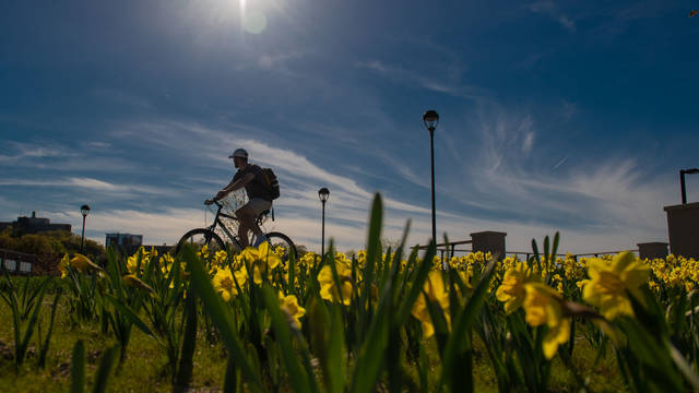 Daffodils and biker on campus in spring