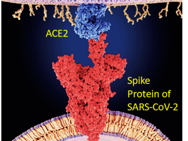 Covid spike protein connecting to ACE2 of human cell