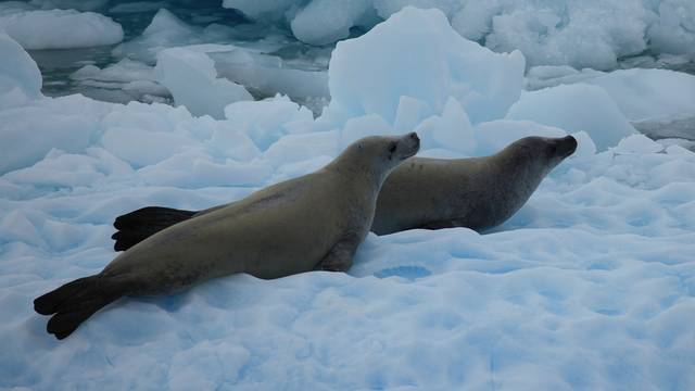 Crabeater seals in the Lemaire Channel, Antarctica. Photo credit: Liam Quinn, Canada