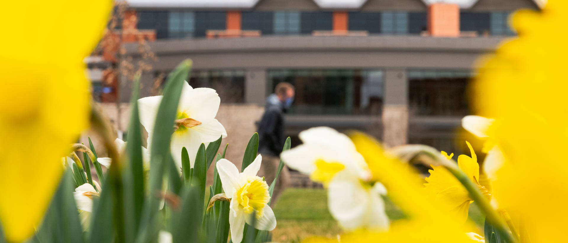 Daffodils with Davies Center in background