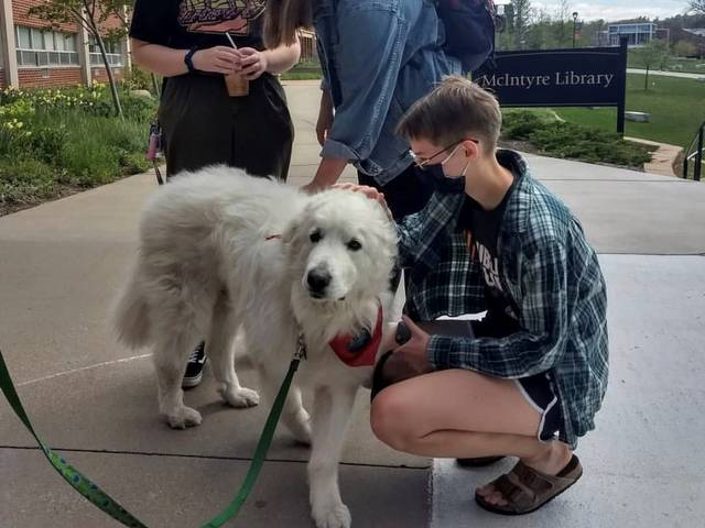 White therapy dog