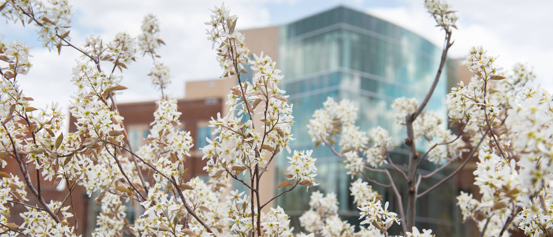 Flowering tree in front of Centennial Hall